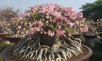 ฮือฮา ต้นชวนชมต้นละ 1 ล้านบาท ออกดอกสวยงาม