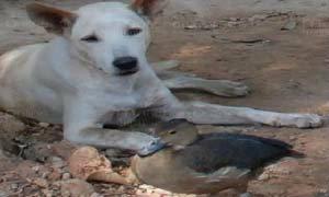 """น่ารัก! เพื่อนรักต่างสายพันธุ์ """"สุนัข-นกเป็ดน้ำ"""""""