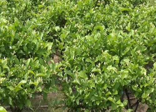 อากาศเปลี่ยนกระทบเกษตรกรปลูกมะลิจันทบุรี