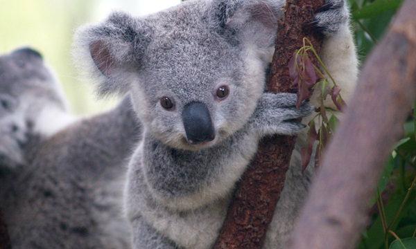 ออสเตรเลียเตรียมลดประชากร 'โคอาลา'