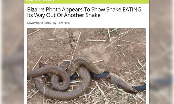 สู้จนตัวตาย! เผยภาพงูกินงู แต่อีกตัวไม่ยอมเป็นเหยื่อง่ายๆ