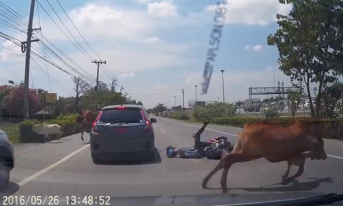 ใครผิด? คลิปมอเตอร์ไซค์ไม่ชะลอ ชนฝูงวัวข้ามถนนล้มตีลังกา