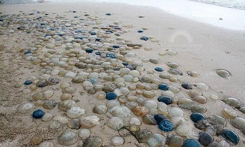 แมงกะพรุนสี เกยตื้นชายหาด ตายนับล้านตัว เป็นแถวยาวกว่าครึ่งกิโล