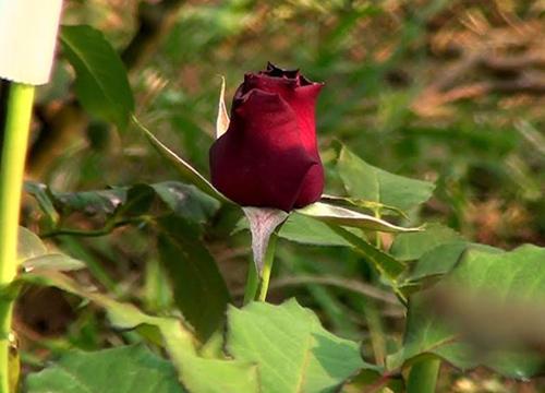 ชาวสวนภูพานตัดดอกกุหลาบขายวาเลนไทน์