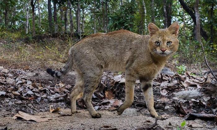 """เผยโฉม """"เสือกระต่าย"""" สัตว์ป่าหายากชนิดหนึ่งของไทย"""